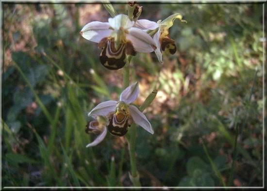 ophrys.jpg
